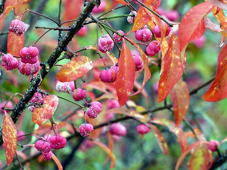 Fall, Berries, Pink, Plant, Cluster, Nature, Foliage