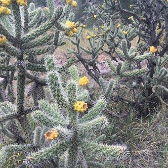 Cholla, Cactus, New Mexico, Desert, Cacti, Plant