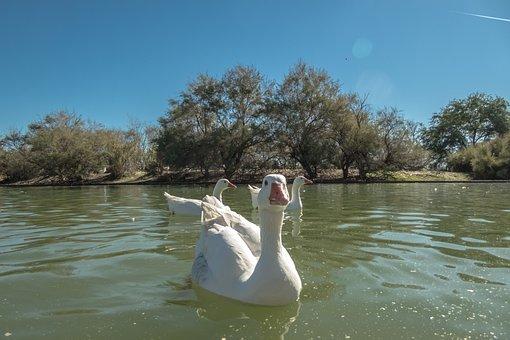 Duck, Swan, Fish, Pond, Species, Lake, Water, Park