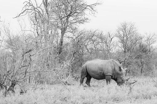 Rhinoceros, Nature Landscape, Grey, Bleak, Animal, Wild