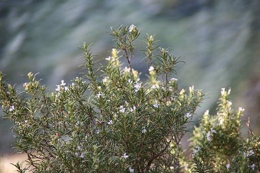 Rosemary, Plant, Aromatic, Vegetation, Phytotherapy