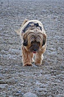 Dog, Tibetan Terrier, Wildlife Photography, Small Dog