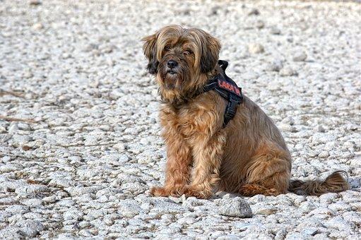 Dog, Tibetan Terrier, Sitting, Profile, Portrait, Pet