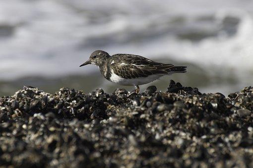 Nature, Watts, North Sea, Wadden Sea, Bird, Turnstone