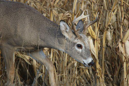 White Tail, Deer, Buck, Wildlife, Animal, Nature