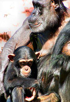Nature, Animal World, Ape, Chimps, Zoo, Old And Young