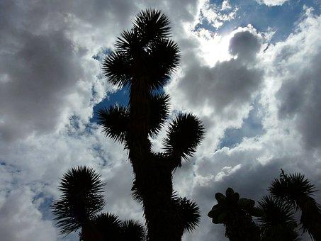 Joshua Tree, Josuabaum, Yucca, Agavengewächs