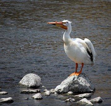 Pelican, Fox River, Appleton, Wisconsin, Wings, River