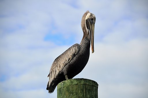 Pelican, Resting, Piling, Nature, Bird, Water, Beak