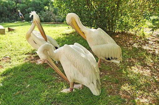 Pelican, Bird, Nature, Feathers, White, Beak, Animal