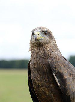 Yellow Billed Kite, Bird Of Prey, Kite, Bird, Prey