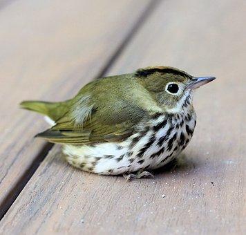 Bird, Ovenbird, Perch, Spotted, Green