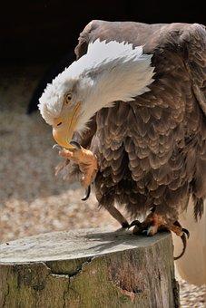 Bald Eagle, Talon, Bird, Wildlife, Prey, Bald, Hunting