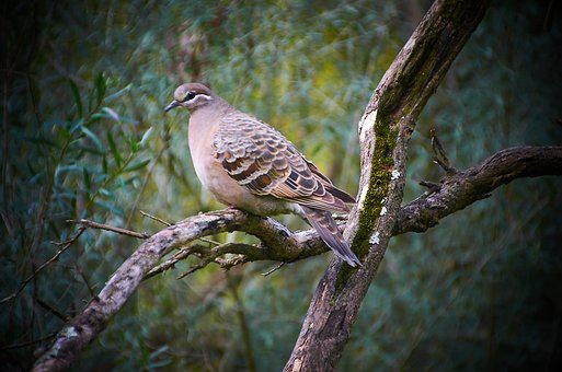 Wood Pigeon, Birds, Australian, Wildlife, Wood, Pigeon