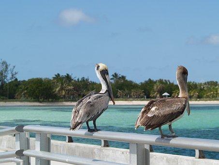 Key West, White Street Fishing Peer, Brown Pelicans