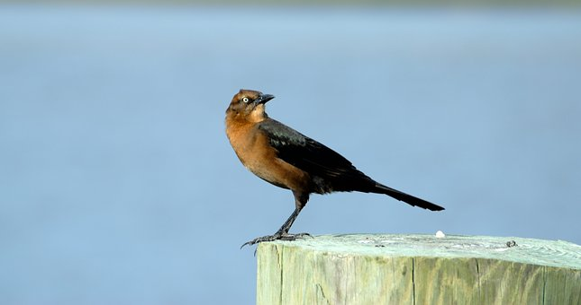 Brown Thrasher, Bird, Avian, Wildlife, Nature, Animal