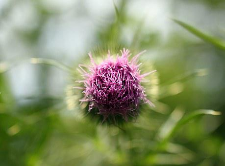 Thistle, Beauty, Pink, Purple, Bud, Botanical, Blossom