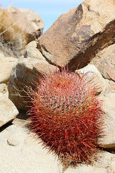 Cactus, California Barrel Cactus, Cactaceae