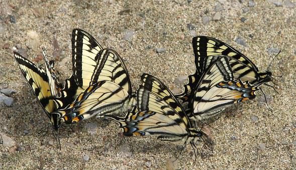Canadian Tiger Swallowtail, Papilio Canadensis