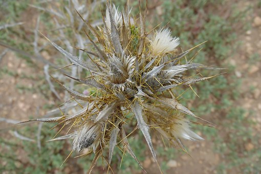 Cotton Thistle, Dry, Thistle, Flower, Thorns, Thorny