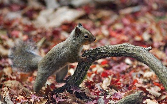 Japanese Squirrel, Squirrel, Sciurus Lis, Croissant