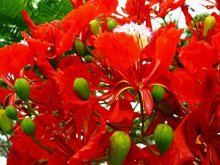 Flower, Red, Bloom, Delonix Regia, Flowering Plant
