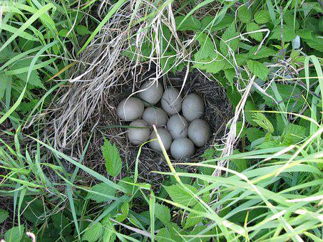 Duck Nest, Eggs, Unknown Species, Duck Island