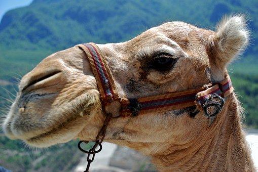 Animal, Camel, Zoo, Desert, Ship, Tunisia, Exotic