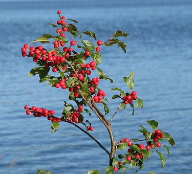 Berries, Shrub, Unknown Species, Grackle Island