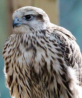 Lanner, Falcon, Bird, Predator, Raptor, Prey, Hawk