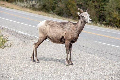Mountain Goat, Canadian Rockies, Jasper, Goat, Mountain