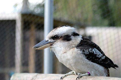 Kookaburra, Bird, Kingfisher, Laughing, Beak, Animal