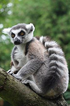 Ring Tailed Lemur, Monkey, Prosimian, Lemur Catta