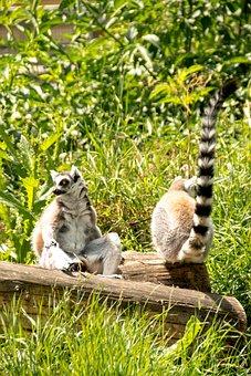Ring Tailed Lemur, Eye, Lemur Catta, Face, Madagascar