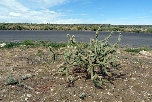 Cholla Cactus, Cactus, Desert, Mojave, Flora
