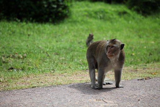 Monkeys, Animals, Mammals, Wildlife, Forest, Roads