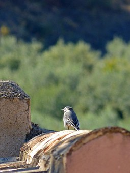 Bird, Motacilla Alba, Roof