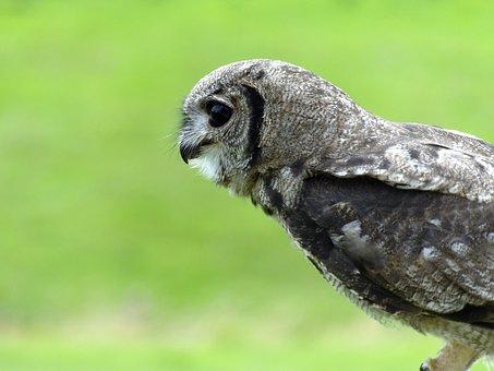 Owl, Bird, Animal, Nature, Portrait, Wild, Eyes