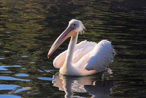 Great White Pelican, Pelican, Pelecanus Onocrotalus