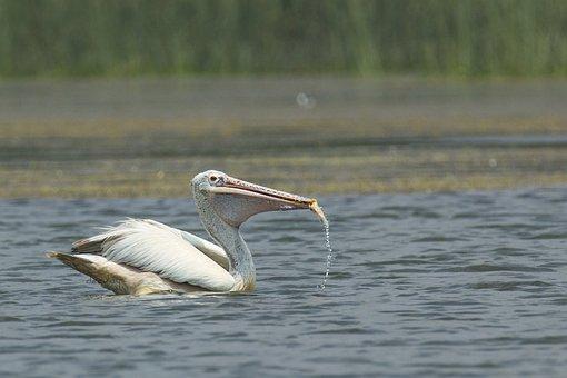 Bird, Pelican, Mysore, India, Eating, Feed, Fish, Lake