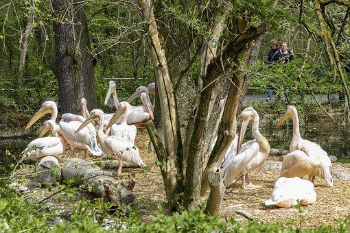 Pelican, Pink, Water Bird, Animal, Nature