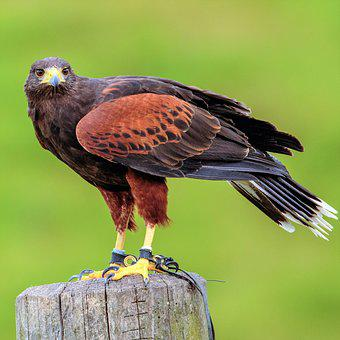 Harris, Hawk, Bird, Animal, Beak, Predator, Nature