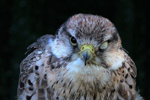 Lanner, Falcon, Eye Membrane, Bird, Predator, Raptor