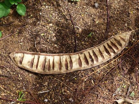 Seed Chambers, Pod, Legume, Open, Seeds, Woody, Lignify