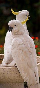 Sulphur Crested Cockatoo, Parrot, Cacatua Galerita