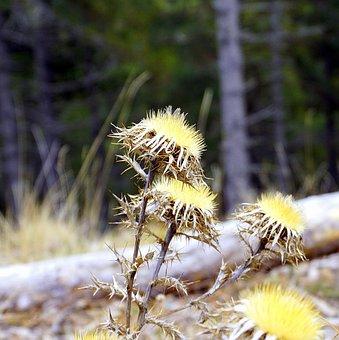 Thistle, Plant, Cotton Thistle, Thorny, Wild Flower