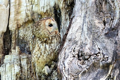Owl, Camouflaged, Tree, Bird, Nature, Wildlife, Prey