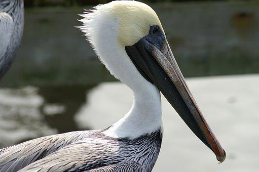 Pelican, Bird, Aves, Water Bird, Fauna, Avian, Bill