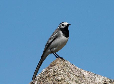 White Wagtail, Songbird, Motacilla Alba, Bird, Animals