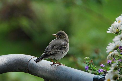 Young Bird, White Wagtail, Precocial, Nature, Bird